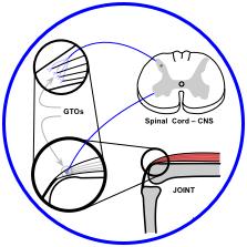 golgi tendon organ nerve reflex pathway - mindful medical massage - structural bodywork