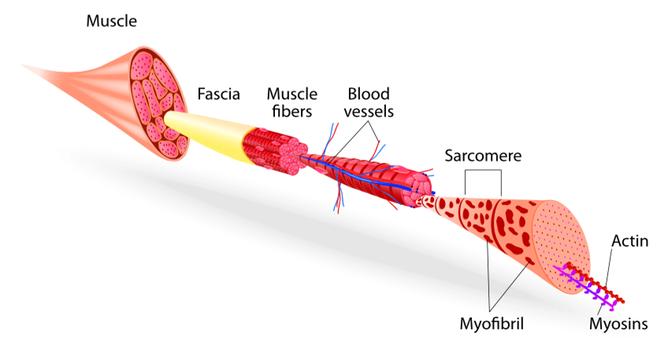 Soft tissues in mindful medical massage - structural bodywork