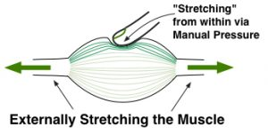 Manually Pressing or Stretching a Muscle for mindful medical massage / structural bodywork