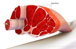 muscle & fascia soft tissues - mindful medical massage - structural bodywork